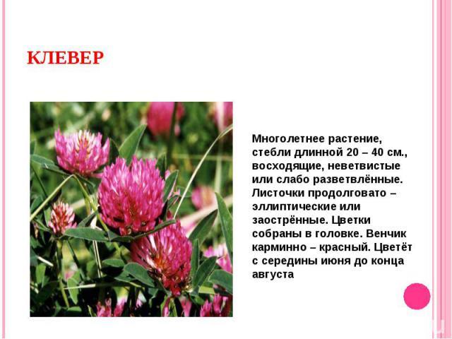 Многолетнее растение, стебли длинной 20 – 40 см., восходящие, неветвистые или слабо разветвлённые. Листочки продолговато – эллиптические или заострённые. Цветки собраны в головке. Венчик карминно – красный. Цветёт с середины июня до конца августа