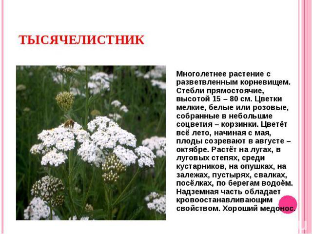 Многолетнее растение с разветвленным корневищем. Стебли прямостоячие, высотой 15 – 80 см. Цветки мелкие, белые или розовые, собранные в небольшие соцветия – корзинки. Цветёт всё лето, начиная с мая, плоды созревают в августе – октябре. Растёт на луг…