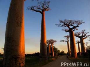 Баобабы на Мадагаскаре