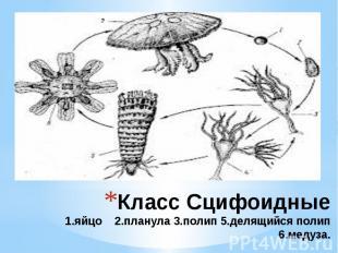 Класс Сцифоидные 1.яйцо 2.планула 3.полип 5.делящийся полип 6.медуза.