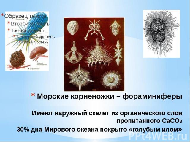 Морские корненожки – фораминиферы Имеют наружный скелет из органического слоя пропитанного СаСО3 30% дна Мирового океана покрыто «голубым илом»