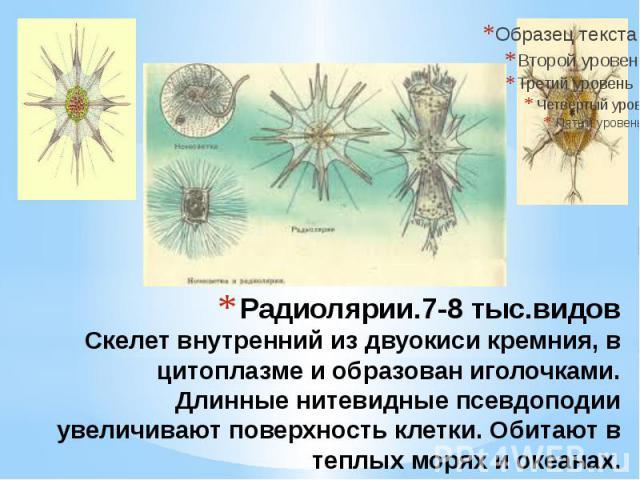 Радиолярии.7-8 тыс.видов Скелет внутренний из двуокиси кремния, в цитоплазме и образован иголочками. Длинные нитевидные псевдоподии увеличивают поверхность клетки. Обитают в теплых морях и океанах.
