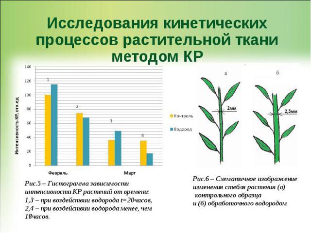 Исследования кинетических процессов растительной ткани методом КР Рис.6 – Схематичное изображение изменения стебля растения (а) контрольного образца и (б) обработочного водородом