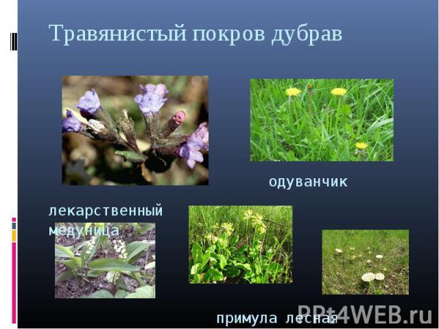 Травянистый покров дубрав одуванчик лекарственный медуница примула лесная грибы ландыш майский