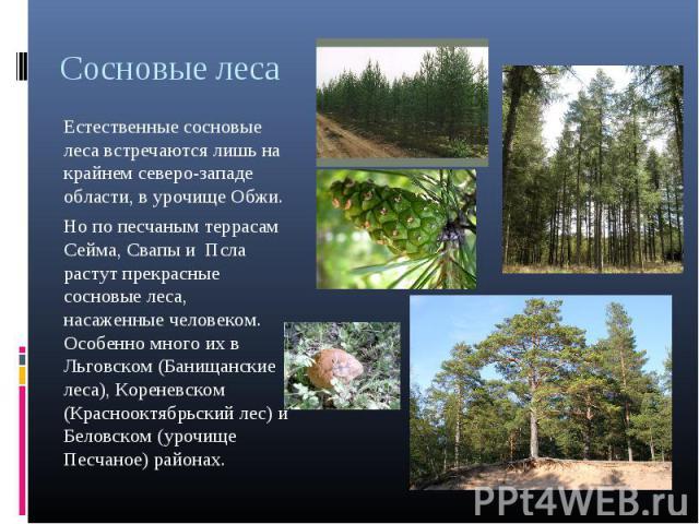 Сосновые леса Естественные сосновые леса встречаются лишь на крайнем северо-западе области, в урочище Обжи. Но по песчаным террасам Сейма, Свапы и Псла растут прекрасные сосновые леса, насаженные человеком. Особенно много их в Льговском (Банищанские…
