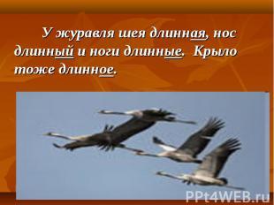 У журавля шея длинная, нос длинный и ноги длинные. Крыло тоже длинное.