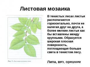 Листовая мозаикаВ тенистых лесах листья располагаются горизонтально, почти не на