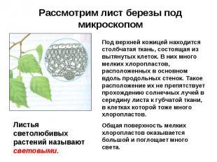 Рассмотрим лист березы под микроскопом Под верхней кожицей находится столбчатая