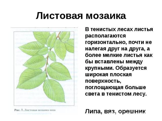 Листовая мозаикаВ тенистых лесах листья располагаются горизонтально, почти не налегая друг на друга, а более мелкие листья как бы вставлены между крупными. Образуется широкая плоская поверхность, поглощающая больше света в тенистом лесу.