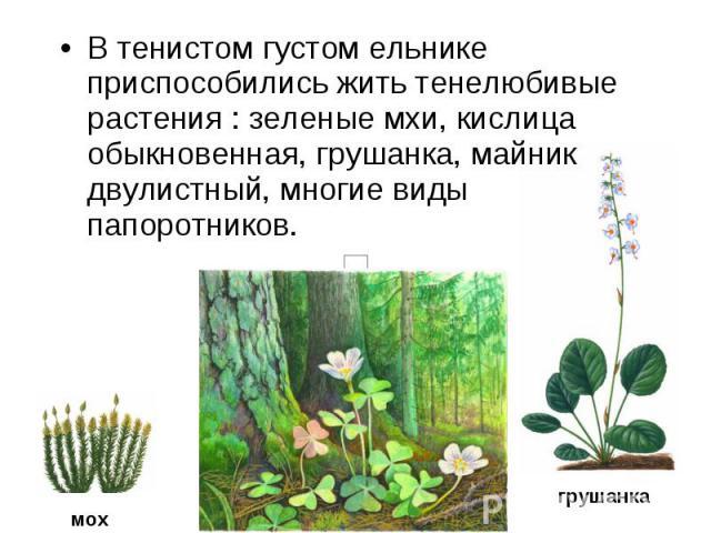 В тенистом густом ельнике приспособились жить тенелюбивые растения : зеленые мхи, кислица обыкновенная, грушанка, майник двулистный, многие виды папоротников.
