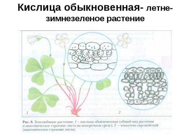 Кислица обыкновенная- летне-зимнезеленое растение