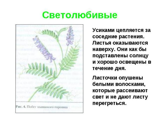СветолюбивыеУсиками цепляется за соседние растения. Листья оказываются наверху. Они как бы подставлены солнцу и хорошо освещены в течение дня. Листочки опушены белыми волосками, которые рассеивают свет и не дают листу перегреться.