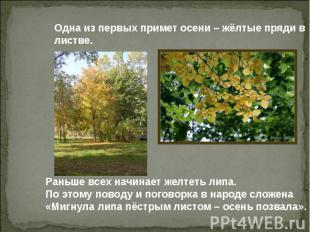 Одна из первых примет осени – жёлтые пряди в листве. Раньше всех начинает желтет