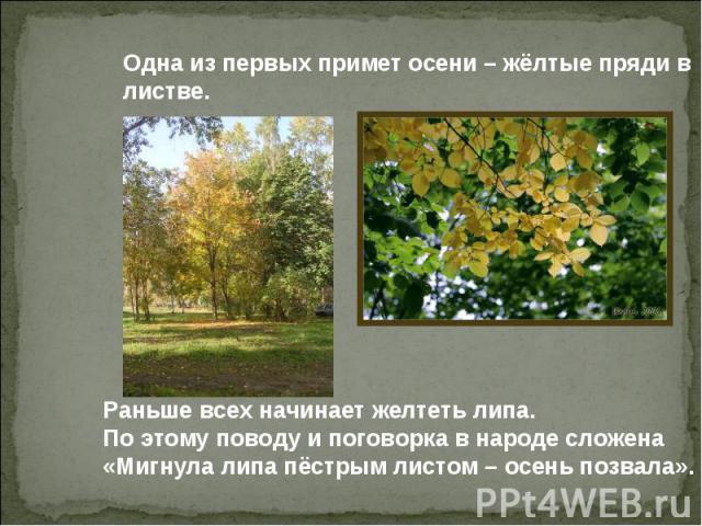 Одна из первых примет осени – жёлтые пряди в листве. Раньше всех начинает желтеть липа. По этому поводу и поговорка в народе сложена «Мигнула липа пёстрым листом – осень позвала».