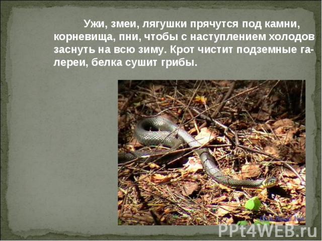 Ужи, змеи, лягушки прячутся под камни, корневища, пни, чтобы с наступлением холодов заснуть на всю зиму. Крот чистит подземные га- лереи, белка сушит грибы.