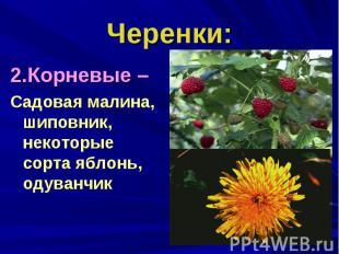 Черенки:2.Корневые – Садовая малина, шиповник, некоторые сорта яблонь, одуванчик