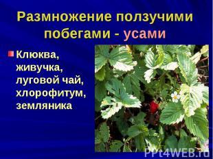 Размножение ползучими побегами - усамиКлюква, живучка, луговой чай, хлорофитум,