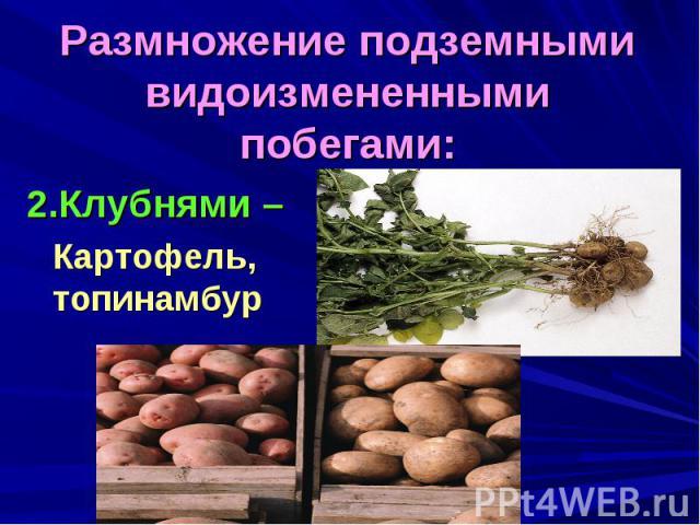 Размножение подземными видоизмененными побегами:2.Клубнями – Картофель, топинамбур