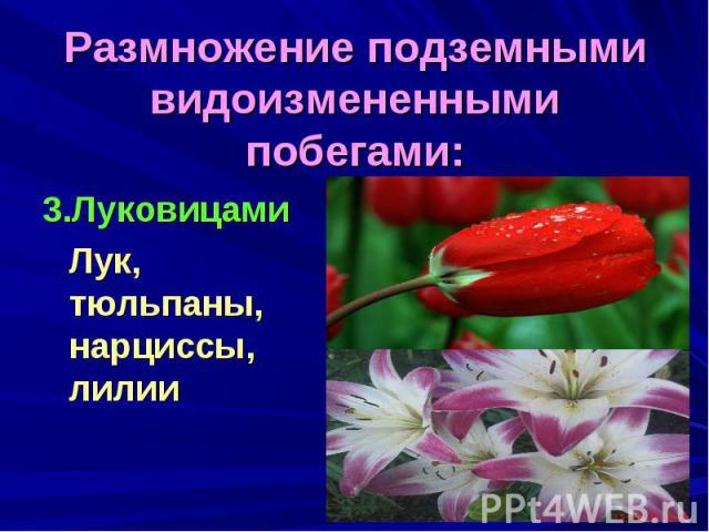 Размножение подземными видоизмененными побегами:3.Луковицами Лук, тюльпаны, нарциссы, лилии