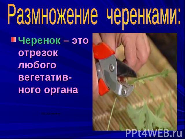 Размножение черенками: Черенок – это отрезок любого вегетатив-ного органа