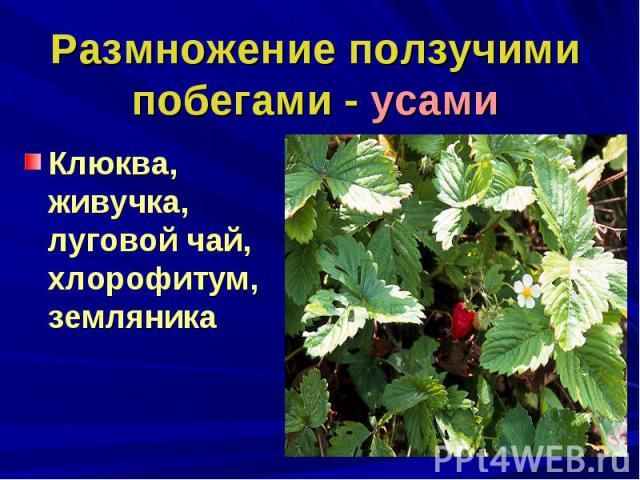 Размножение ползучими побегами - усамиКлюква, живучка, луговой чай, хлорофитум, земляника