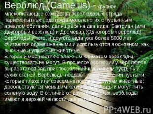 Верблюд (Camelus) - крупное млекопитающее семейства верблюдовых отряда парнокопы
