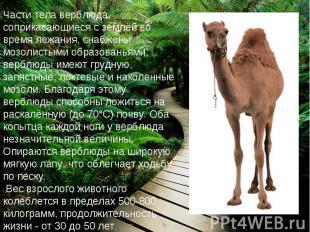 Части тела верблюда, соприкасающиеся с землёй во время лежания, снабжены мозолис