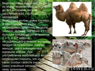 Верблюд очень вынослив. За день он может перенести на себе от 200 до 300 килогра