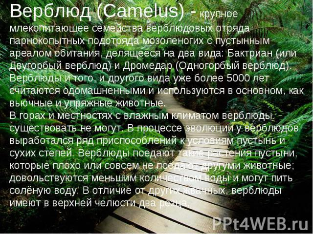 Верблюд (Camelus) - крупное млекопитающее семейства верблюдовых отряда парнокопытных подотряда мозоленогих с пустынным ареалом обитания, делящееся на два вида: Бактриан (или Двугорбый верблюд) и Дромедар (Одногорбый верблюд). Верблюды и того, и друг…