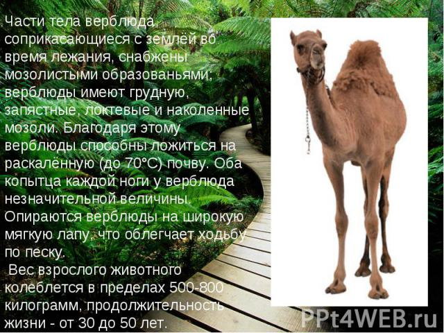 Части тела верблюда, соприкасающиеся с землёй во время лежания, снабжены мозолистыми образованьями; верблюды имеют грудную, запястные, локтевые и наколенные мозоли. Благодаря этому верблюды способны ложиться на раскалённую (до 70°С) почву. Оба копыт…