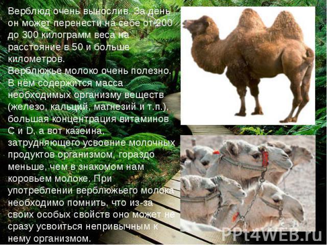 Верблюд очень вынослив. За день он может перенести на себе от 200 до 300 килограмм веса на расстояние в 50 и больше километров. Верблюжье молоко очень полезно. В нём содержится масса необходимых организму веществ (железо, кальций, магнезий и т.п.), …