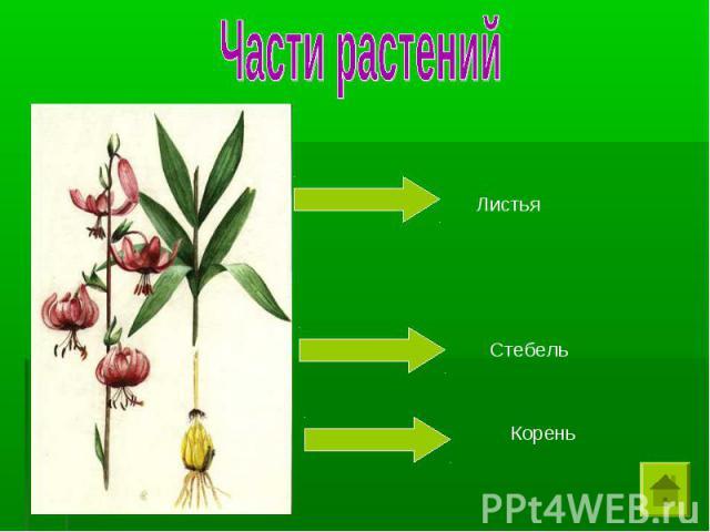 Части растений Листья Стебель Корень