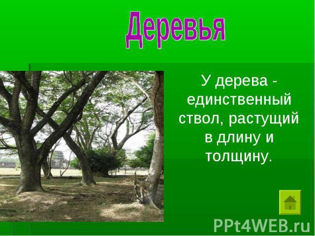 Деревья У дерева - единственный ствол, растущий в длину и толщину.