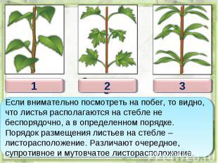 Если внимательно посмотреть на побег, то видно, что листья располагаются на стеб