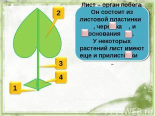 Лист – орган побега. Он состоит из листовой пластинки , черешка , и основания .