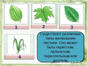 Существуют различные типы жилкования листьев. Оно может быть перистым, пальчатым