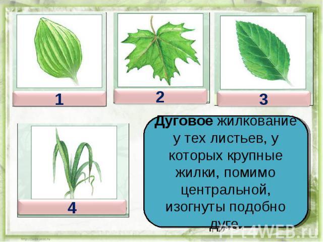 Дуговое жилкование у тех листьев, у которых крупные жилки, помимо центральной, изогнуты подобно дуге.