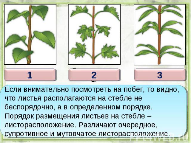 Если внимательно посмотреть на побег, то видно, что листья располагаются на стебле не беспорядочно, а в определенном порядке. Порядок размещения листьев на стебле – листорасположение. Различают очередное, супротивное и мутовчатое листорасположение.