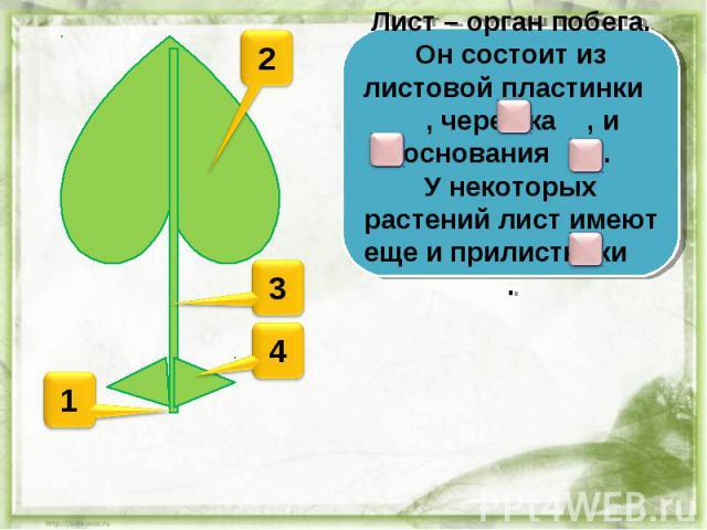 Лист – орган побега. Он состоит из листовой пластинки , черешка , и основания . У некоторых растений лист имеют еще и прилистники .