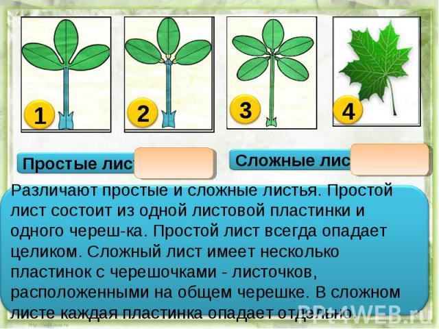 Различают простые и сложные листья. Простой лист состоит из одной листовой пластинки и одного череш-ка. Простой лист всегда опадает целиком. Сложный лист имеет несколько пластинок с черешочками - листочков, расположенными на общем черешке. В сложном…