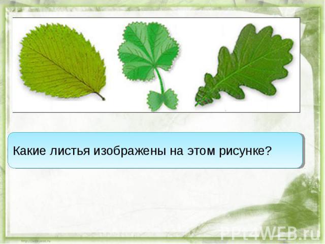 Какие листья изображены на этом рисунке?