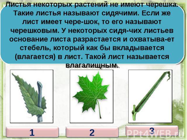 Листья некоторых растений не имеют черешка. Такие листья называют сидячими. Если же лист имеет чере-шок, то его называют черешковым. У некоторых сидя-чих листьев основание листа разрастается и охватыва-ет стебель, который как бы вкладывается (влагае…
