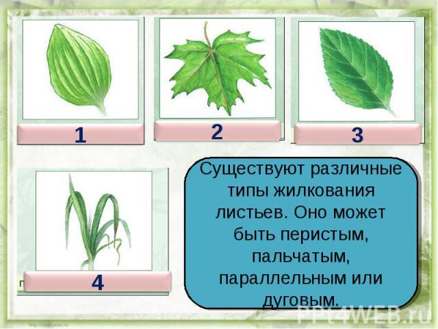 Существуют различные типы жилкования листьев. Оно может быть перистым, пальчатым, параллельным или дуговым.