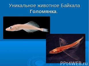 Уникальное животное Байкала Голомянка.