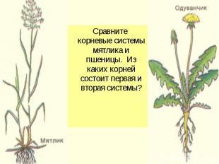 Сравните корневые системы мятлика и пшеницы. Из каких корней состоит первая и вт