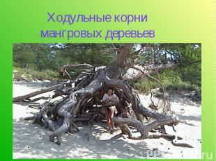 Ходульные корни мангровых деревьев