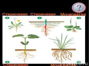 Определите типы корневых систем.