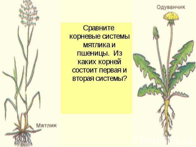 Сравните корневые системы мятлика и пшеницы. Из каких корней состоит первая и вторая системы?