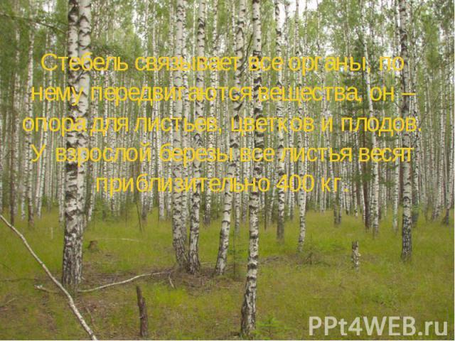 Стебель связывает все органы, по нему передвигаются вещества, он – опора для листьев, цветков и плодов. У взрослой березы все листья весят приблизительно 400 кг.