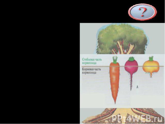 Каковы функции корня «Якорь» - удерживает растение в почве «Насос» - поглощает воду и минеральные соли «Склад» - запасает питательные вещества